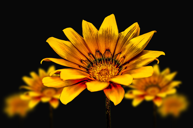 Flower g%C3%A9rbel yellow flower flower