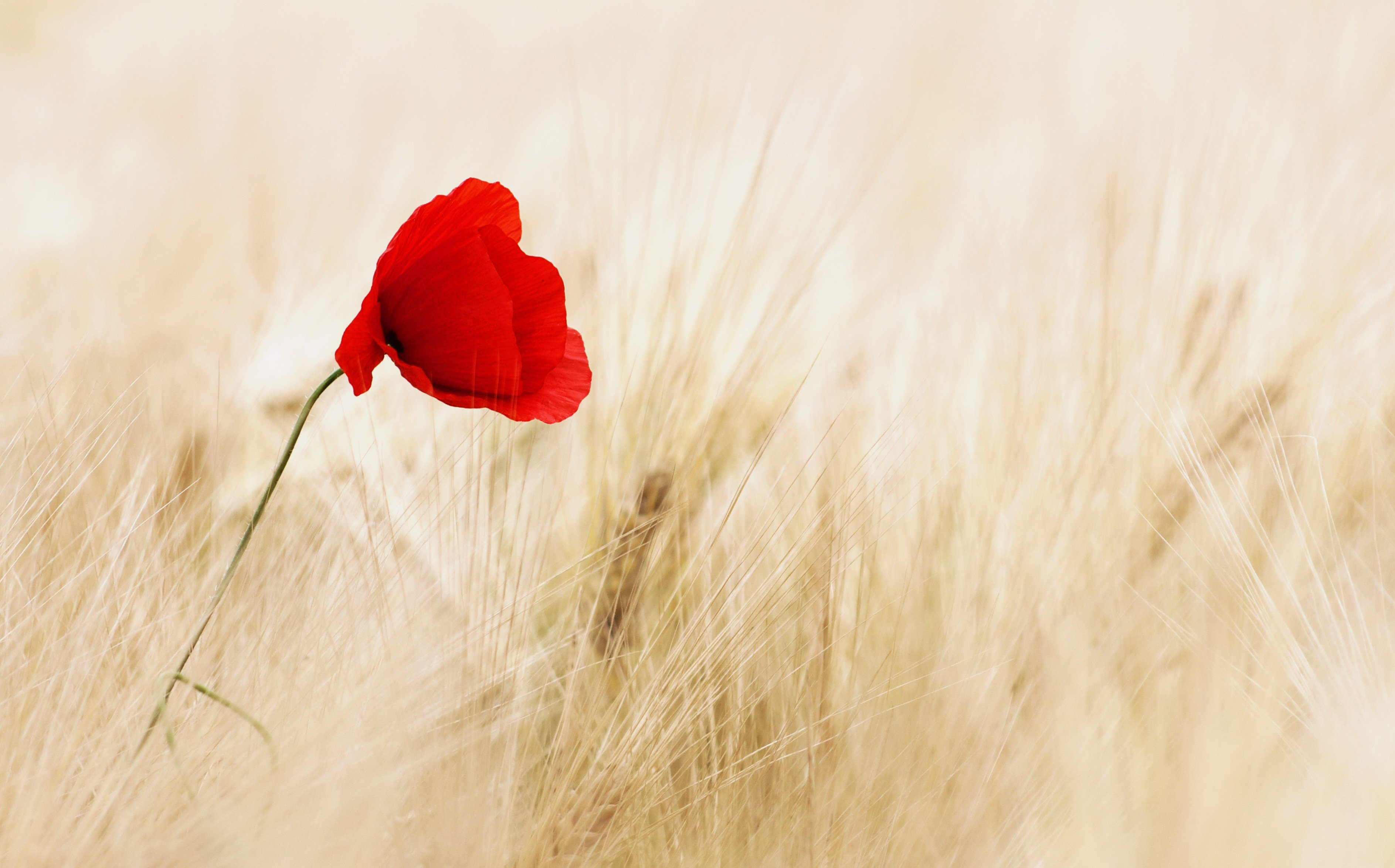Cornell red and white cereals field ripe poppy