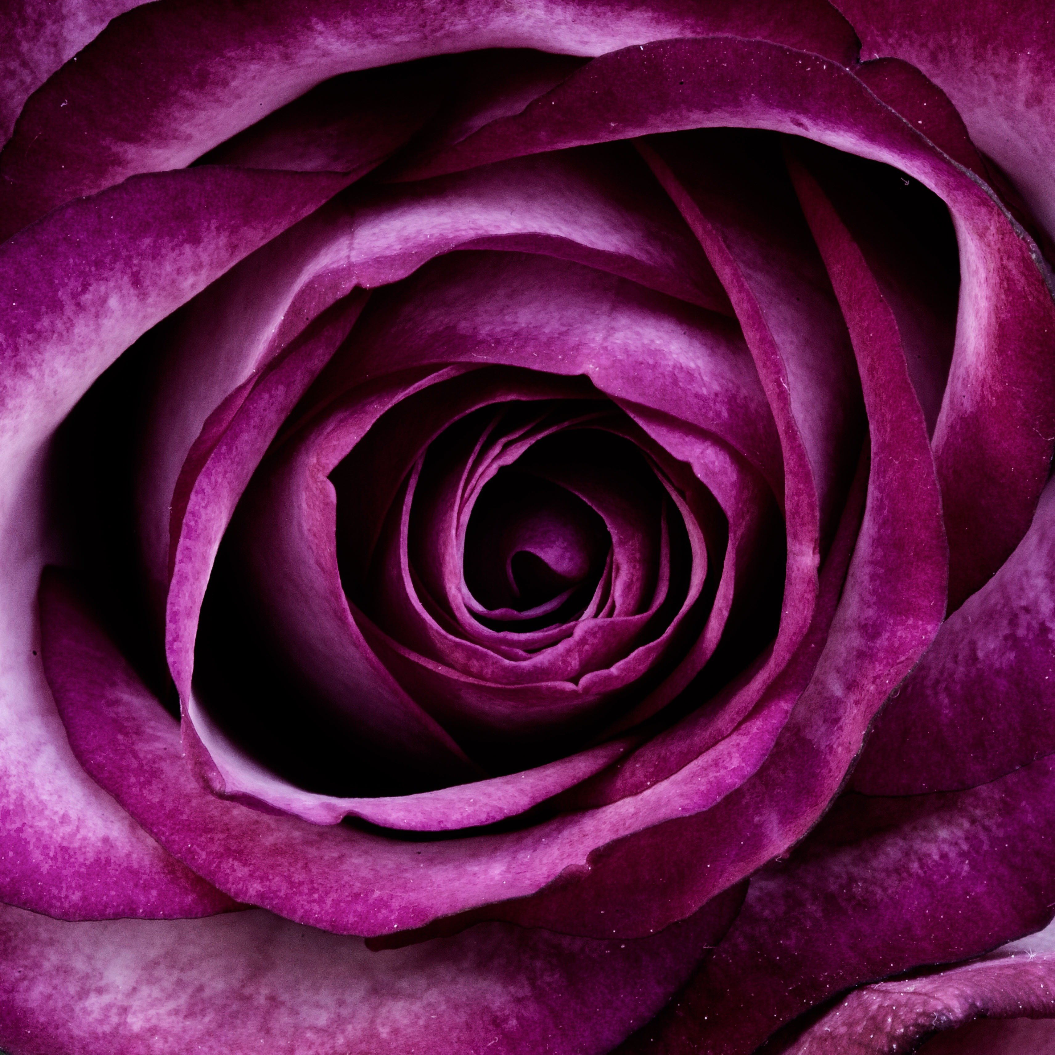 Purple plant rose flower petals nature