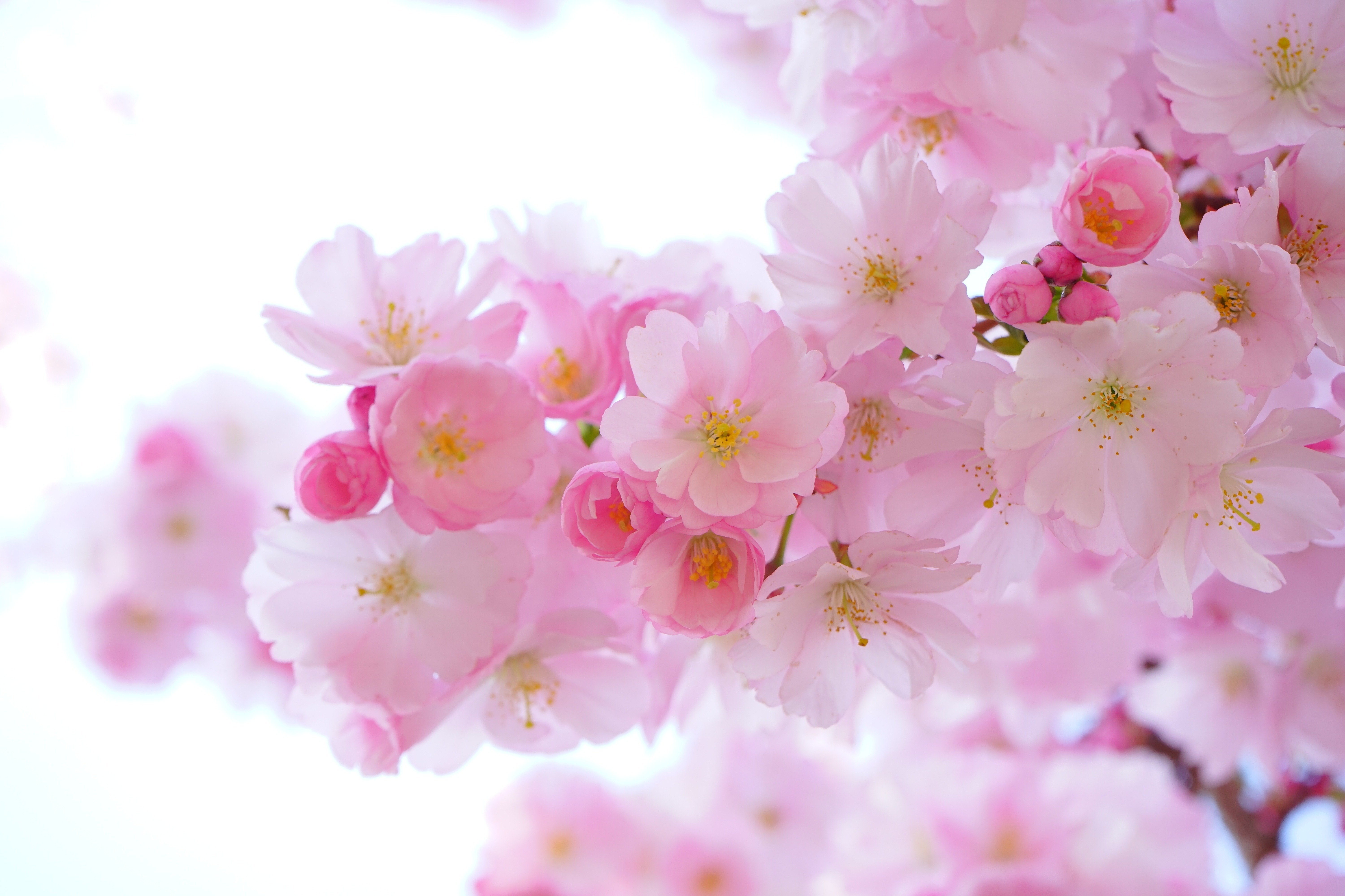 Color Palette – japanese cherry trees flowers spring –  #dfbcd3, #a34b66, #c27792, #be7c64, #8c748c – Pink Peony color, Raspberry Patch color, Watermelon Pink color, Himalayan Salt color, Self Powered color